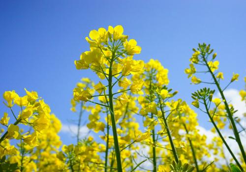 fundusz promocji roślin oleistych