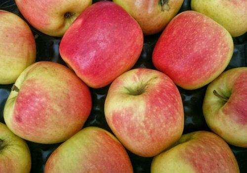 jablka eksport