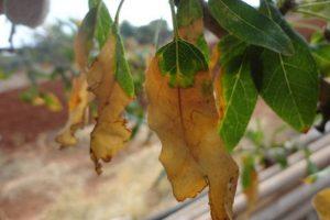 Objawy chorobowe na liściach migdałowca pospolitego spowodowane przez Xylella fastidiosa (fot. Donato Boscia, CNR - Institute for Sustainable Plant Protection, UOS, Bari, https://gd.eppo.int/).