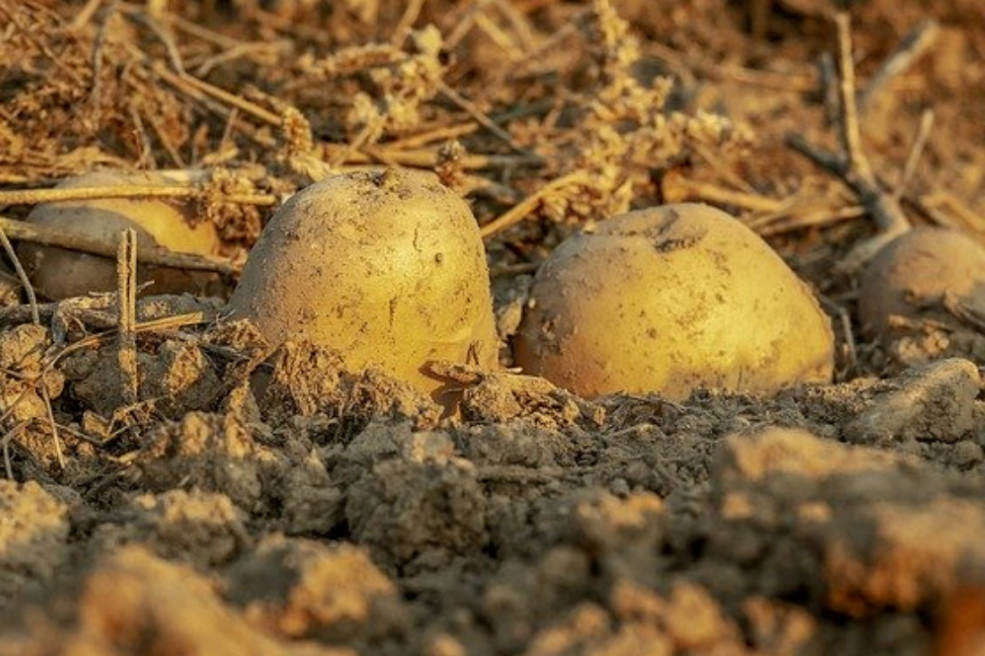 Będą zmiany w prawie dotyczące uprawy ziemniaków