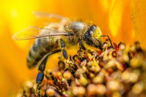 pszczola nektar miod