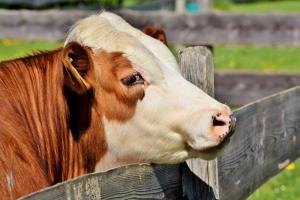 krowa hodowlana2