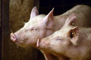 dobrostan zwierzat swinie