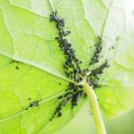 Raport nr 15 – nowe zagrożenia fitosanitarne dla Polski