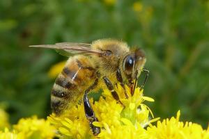 pszczola (3)