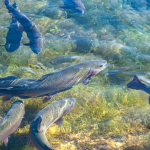 Pomoc suszowa – hodowla i chów ryb słodkowodnych